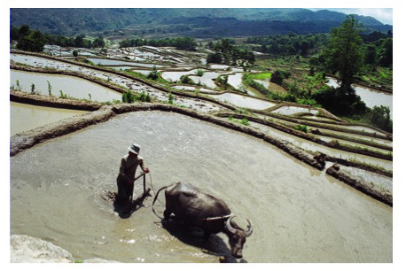 Much of China's farm production still comes from independent farmers using traditional farming methods.